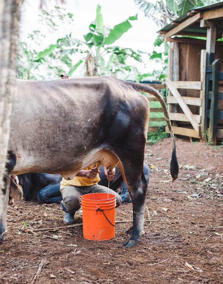 Die erste Aktivität am nächsten Morgen - Kühe melken um 6.30 Uhr.